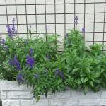 区役所 紫の花