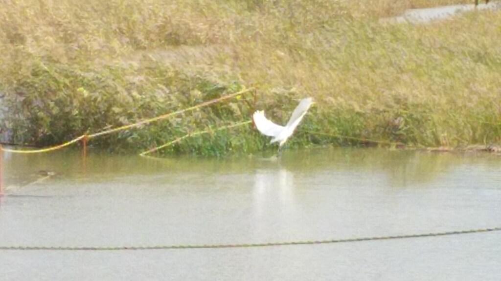 淀川河川敷 西中島地区 水路にいた 水鳥