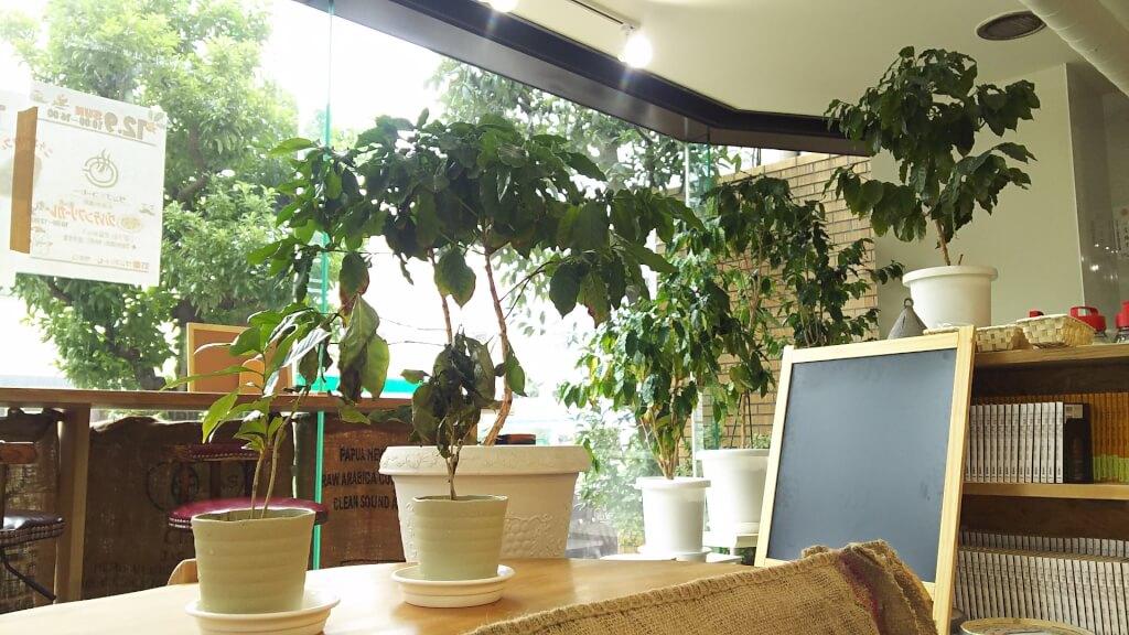 焙りたてや 店内で育成されている コーヒーの木