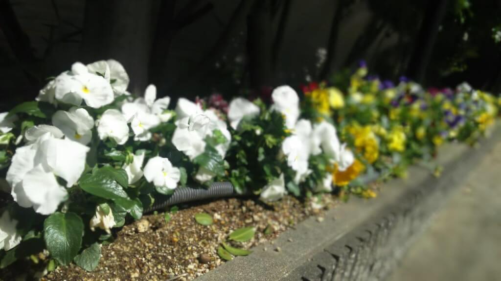 春の草花 パンジー