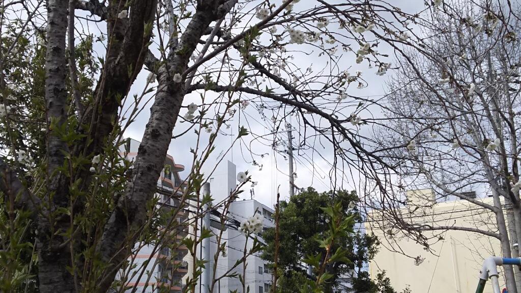 2019年3月24日 野中南公園の 桜の木
