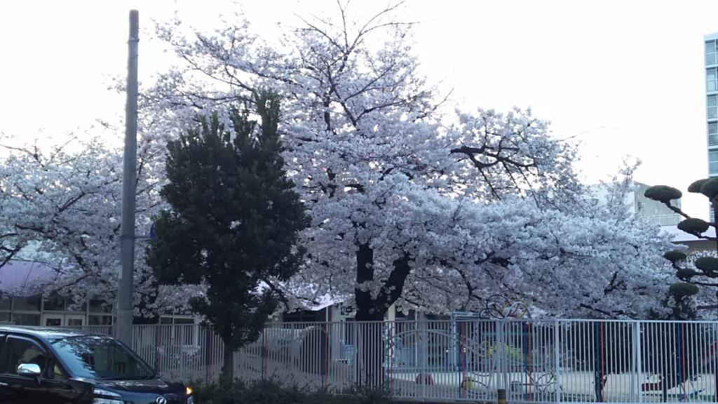 西中島幼稚園 満開の桜