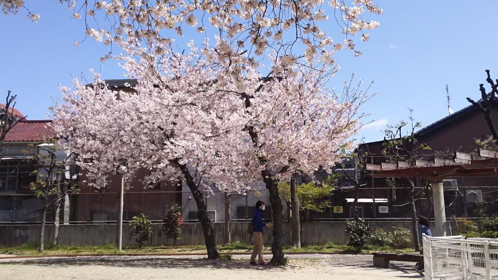 木川西公園 さくら
